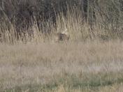 Chinese Water Deer Part 2