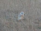 Heathland Barn Owl