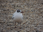 Black Headed Gull At Morston