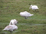 Mute Swans At Elsing