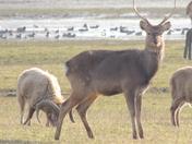 Deer and Rams