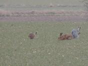 A Rare Hare?