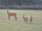 Roe deer with her Kids!