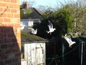 "Black Headed Gulls ( 50 )  ""A  LEAP OF FAITH"""