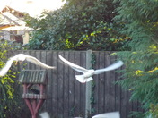 "Black Headed Gulls, (49)  ""HANG-GLIDING"""
