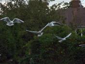 "Black Headed Gulls - (34) ""ARRIVAL"""