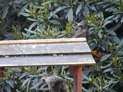 """The Starling  -  """"TWO IS COMPANY, BUT NOT THIS TIME !"""""""