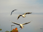 """Blackheaded Gulls (31 and 33)  """"IN FLIGHT IMAGES"""" part 1 of 2"""