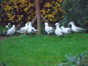 "Black Headed Gulls (19)""Meeting at the bottom of the garden"""