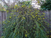 Winter Jasmine just starting to flower.