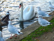"Black Headed Gulls (18)  ""Gather Round said the Swan, and I will tell you a stor"