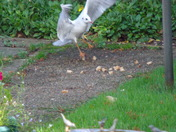 "Black Headed Gulls (13)  ""TOUCHDOWN"""