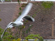 "BlackHeaded Gulls    (10) - ""TAKE ME UNDER YOUR WING"""