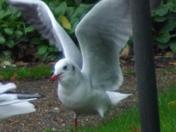 "Black headed Gull (6)  "" LOOK AT ME"""