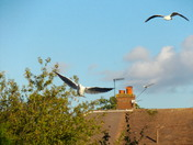 "HERRING GULLS  (2)  ""out of the blue"""