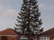 A dominant Monkey Puzzle Tree.