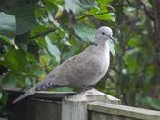 THE COLLARED DOVE