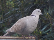 DIFFERENT PORTRAINTS of a COLLARED DOVE.