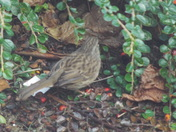 Latest DUNNOCK pictures.