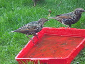 THE STARLING FAMILY -(3) Relatives !