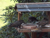 DINNER WITH THE STARLING FAMILY   (1)