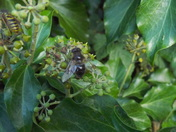 Insects on Ivy