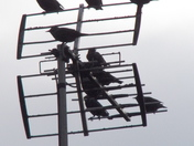 STARLINGS IN TRANSIT