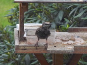 A Starling on sentry duty.