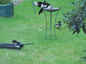 Magpies-another 3 for a girl !