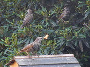 Starlings-Chips with everything