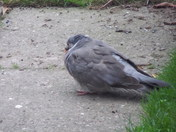 PIGEON - ASLEEP and AWAKE