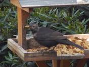 BLACKBIRDS  ALL