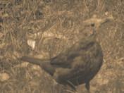 Blackbird in sepia