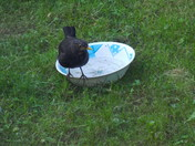 Last Bath of Summer  BLACKBIRD