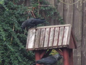 Be down in a minute. Two Jackdaws on the bird table