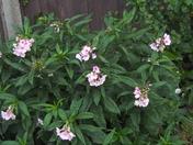 GARDEN PHLOX (paniculata) in my rear garden.