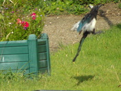 LIFT OFF (magpie taking off.