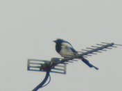 Magpie with AERIAL view