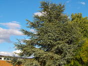 A shapely tree in Thorpe sT Andrew.