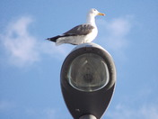 Seagull on lampost in St. Williams Way. Thorpe St.Andrew.