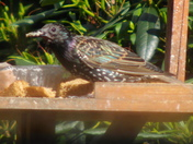 The STARLING,as pictured in the rear garden recently