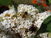 Bees on a Buddleia