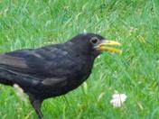 MORE BLACKBIRDS