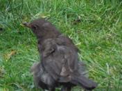 not quite fledged,baby Blackbird