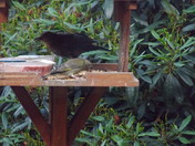 New to my garden. A new bird came into my garden. Taken about 5p.m.to-day