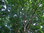 CANOPY  OF TREES.  at 6.30p.m. in the entrance to the Woodside P/HOUSE and Thund