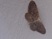 Little Brown Moth on old wall