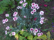 DIANTHUS-Angel of forgiveness