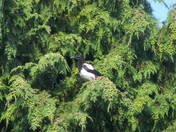 MAGPIE TREE,pictures of mapies sunbathing in tree,