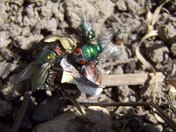 GREEN BOTTLE FLY IN THE GARDEN